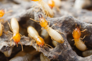 termite control - treatment